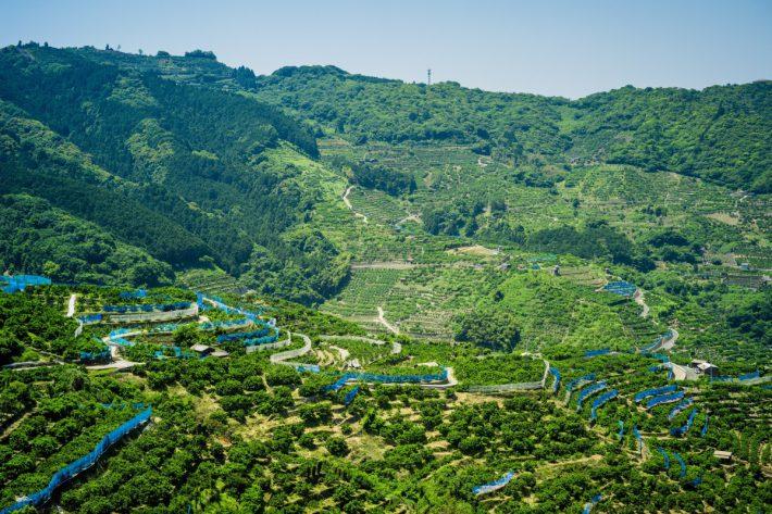 カシノキから見る八幡浜市川上町のみかん畑